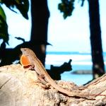 Leguan Waikiki Hawaii