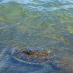 Schildkröte Oahu Hawaii