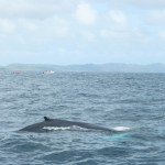 Whale Watching Samana Dominikanische Republik