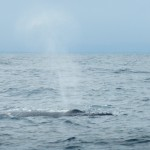 Whale Watching Samana Dominikanische Republik