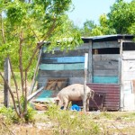 Schweine Saona Dominikanische Republik