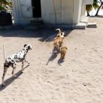 Hunde Saona Dominikanische Republik