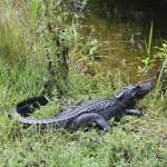 Zehn Tiere, denen man in den Everglades begegnen kann
