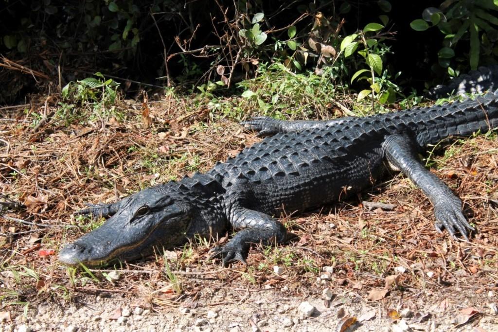 Tiere in den Everglades Alligator