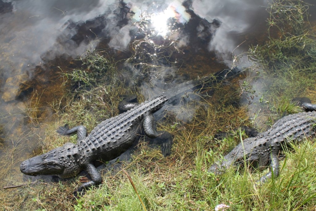 Tiere in den Everglades Alligator